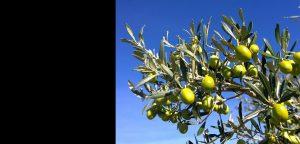 Agroturizam Zure uzgoj masline