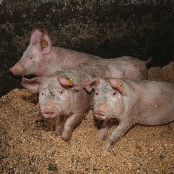 uzgoj-svinja